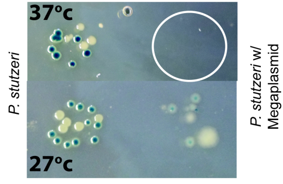 Fig. 3 HGT of a megaplasmid sensitizes P. stutzeri to high (ish) temperatures. Serial dilutions were plated out at 27 degrees and 37 degrees. White circle represents where bacteria plated out but didn't grow.