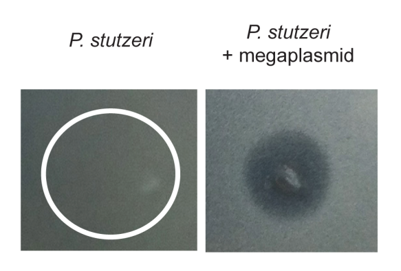 Fig. 4 HGT of a megaplasmid sensitizes P. stutzeri to killing by P. aeruginosa supernatant. On left is wild type P. stutzeri on right is megaplasmid containing strain spotted with supernatant. Lack of bacterial growth is only seen on right only where supernatant spotted (darker part).